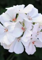 白いゼラニウムの花言葉。