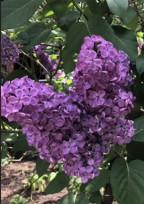 紫色のライラック