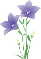 色褪せた桔梗【紫】