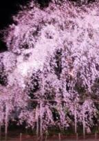 枝垂れ桜の下集まって。
