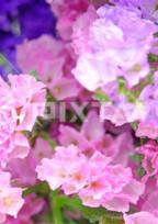 スターチスの花を