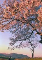 桜色______