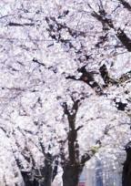 桜の花(緑)