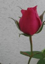 愛は未熟な薔薇の下で
