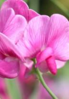Flowers story___story , 1___ レッドストック.