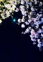 君と桜と…