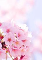 桜 、咲 い た よ .