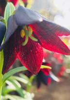 黒百合の花言葉_____