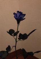 同じ苦楽 【青い一輪の薔薇】