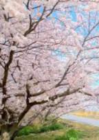 桜が咲く頃、君の隣