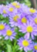紫苑ーあなたを忘れない-