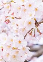 桜のようにきれいな心