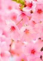あなたは桜のように。