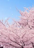 桜が咲く前に