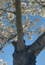 桜が散る日、僕が死ぬ。