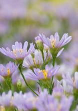 紫苑 ー 貴方を忘れない ー