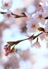 桜色が枯れるとき