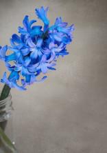 青いヒヤシンス。