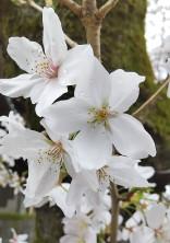 君と桜の木の下で