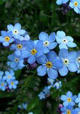 ミオソティスが咲く頃に。
