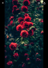 紅の薔薇姫と執事さん