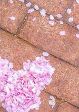 桜の舞う季節