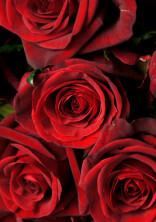 薔薇(花言葉)