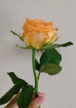 薔薇に願いを叶えると。(参加型)(完結済み)