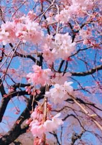 🌸あの日の桜🌸