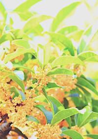 金木犀の咲く中庭で