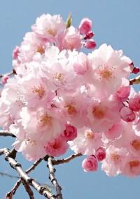 桜が聞いた二人の約束。