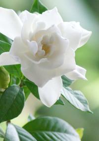 クチナシの花言葉を【アイナナ】