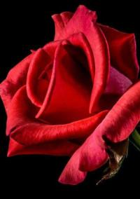 獣と薔薇  ~約束を果たすまで~